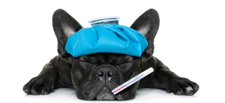 Black dog with water bottle on head and thermometer in mouth.