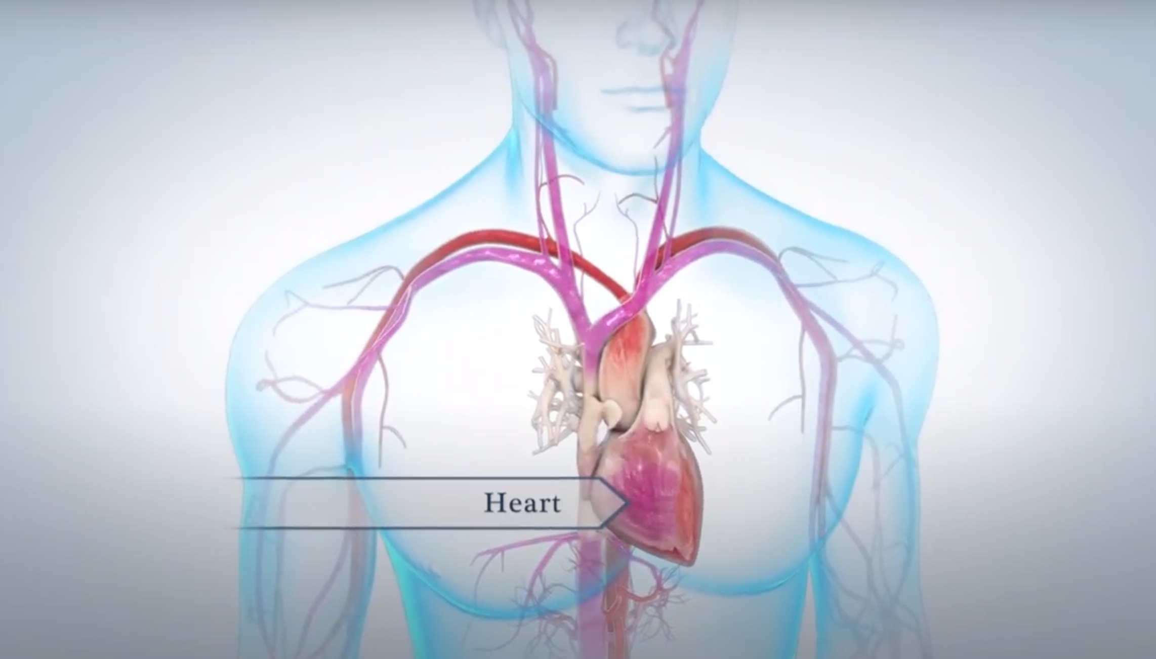 Animated model of the heart pumping blood throughout the body